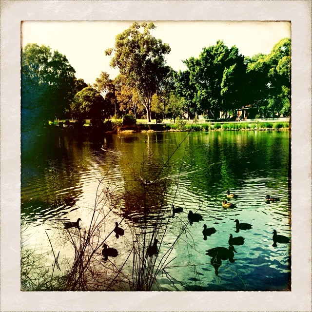 Escorted by an army of blue-breasted birds I am led to the ducks. A new story is fluttering inside my ribs. Everything begins and ends with birds. #walkingwithangels #winter #birdlove #inspiration #sydney #spirit #stpeters #sydneypark