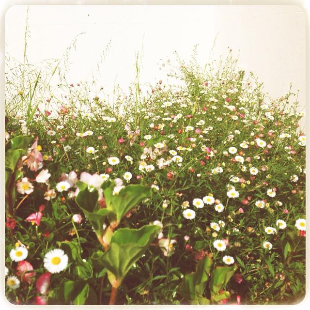 Sweet Daisies growing wild. #daisy #natureart #natureismedicine #garden