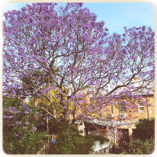 'They invoke something closer to a hallucinatory yearning. Their colours appear unreal, as if you have suddenly developed the ability to see ultra-violet.' From Sydney by Delia Falconer #jacaranda #innerwest #sydney #stpeters #deliafalconer #natureart #natureismedicine