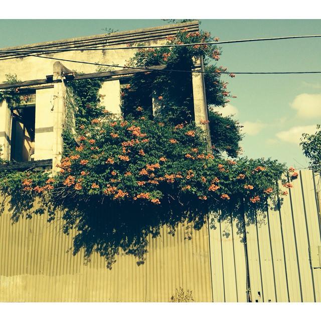 Flowers growing wild inside houses in Applebee street. #stpeters #natureart #innerwest #sydney