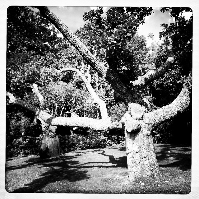 Two of the Botanical Gardens's trees - planted in the 19th century are having to be cut down. The gardens have spent years trying to save the pair but their time has come. A barricade has been erected around them and people are asked to pay their respects to these great friends of the garden and Sydney. #botanicalgardens #sydney #natureismedicine #natureisart #weareconnected #payingrespects ##botanicalgardens #arborist #transitions